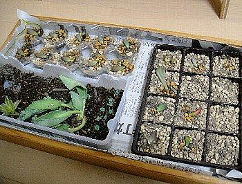 多肉植物⑩2012-10-26.jpg