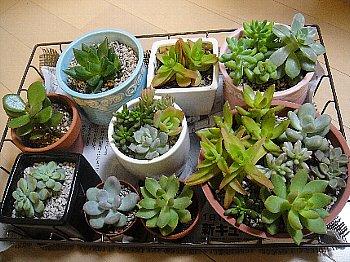 多肉植物⑫2012-10-26.jpg