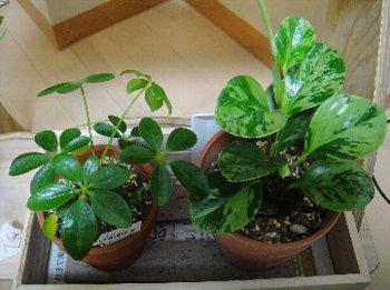 観葉植物(リーフクリン-10.jpg