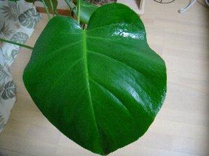 観葉植物(リーフクリン-3.jpg