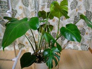 観葉植物(リーフクリン-4.jpg