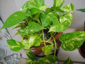 観葉植物(リーフクリン-7.jpg