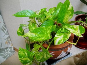 観葉植物(リーフクリン-8.jpg