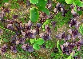 赤紫蘇の芽 イチゴの苗.jpg