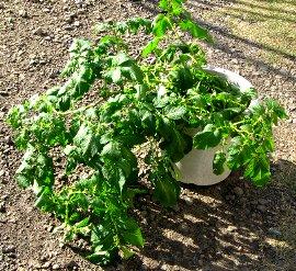 IMG_11-20 鉢植えのジャガイモ.jpg