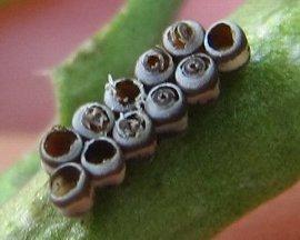 IMG_4463タマゴクロバチ科の1種に寄生される-7-17-2.jpg