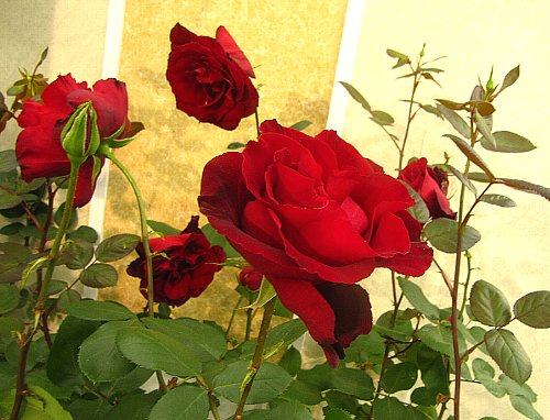 IMG_4522ベルサイユのバラ-2011-5-.jpg