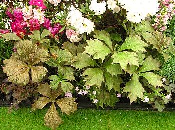 IMG_4547ユキノシタ科の植物・ヤグルマソウ-2012-5-14-1.jpg