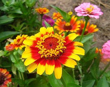 IMG_5235黄と緋赤の2色の蛇の目咲き-8-5-2.jpg