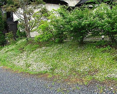 IMG_6096姫イワダレソウ-2012-6-9-1.jpg