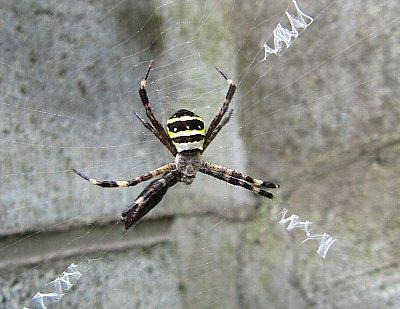 IMG_6628コガネグモ(黄金蜘蛛)-2010-6-17-1 .jpg