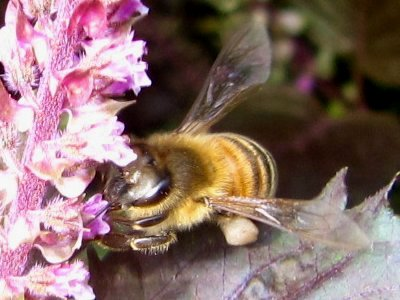 IMG_7085赤紫蘇の花に2011-9-25-1.jpg