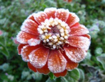 IMG_9595強い霜で-11-22-2.jpg